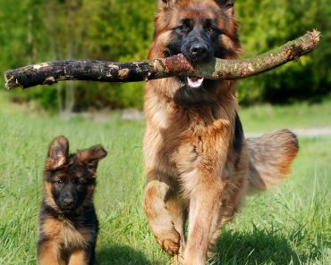 german shepherd bitch with his puppy