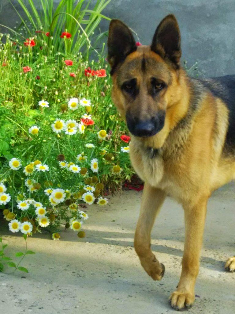 shepherd dog india with flowers